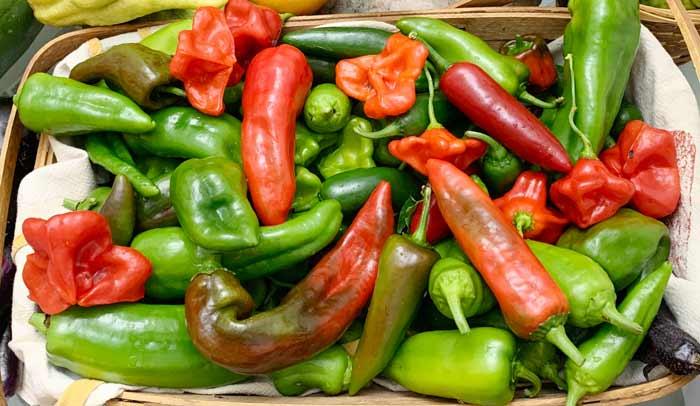 自家种植的有机传家宝辣椒大丰收。