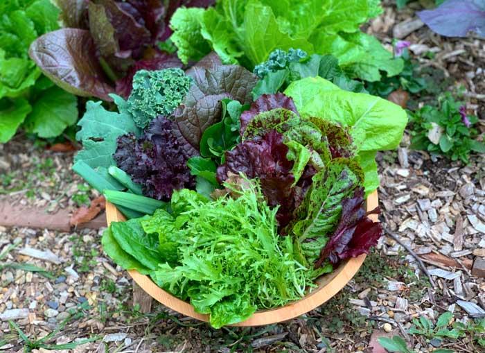 精选凉爽的季节,花园新鲜的混合沙拉蔬菜。