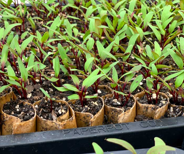 Beet seedlings in a proprietary paper pot transplanter flat. The honeycomb cells are stretched apart by the device during transplanting and spaced perfectly into the ground, hands-free.