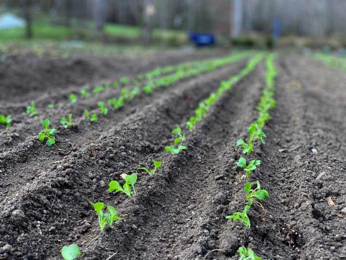 Rows of seedlings at Horseshoe Farm just transplanted via Chris's new Paper Pot Transplanter.