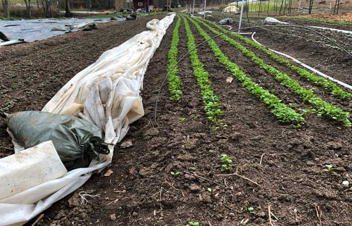 Row covers pulled off on a warm late-winter day and held down by sandbags. You can also see the wire cut to form low tunnels, which hold the row cover in place over the crops on cold days/nights.